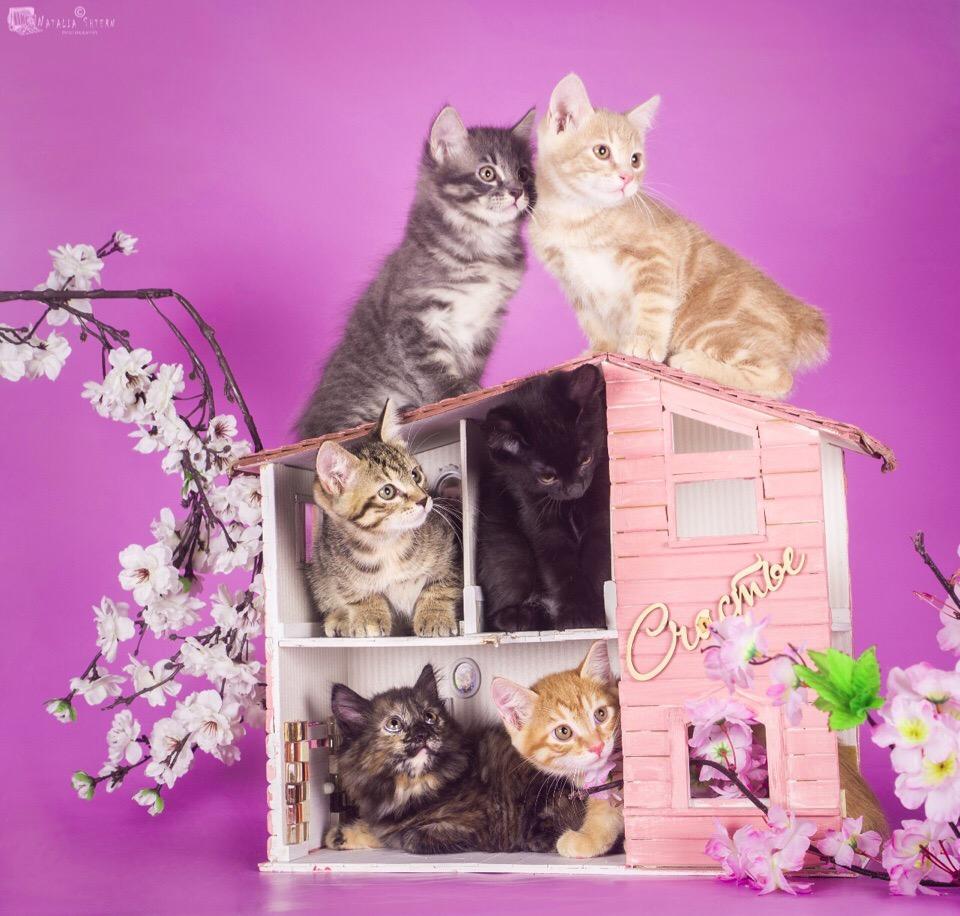 Kittens of the Kurilian Bobtail