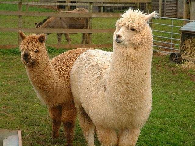 Sell Alpaca, deer, llamas, Nubian, Boer goats, deer Mungiki, Kangaroos Bennett