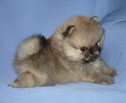 Lovely baby Pomeranian