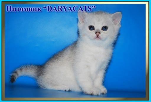 British kittens from cattery Daryacats Moscow