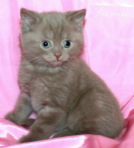 15, 00.rubles, a British lilac cat