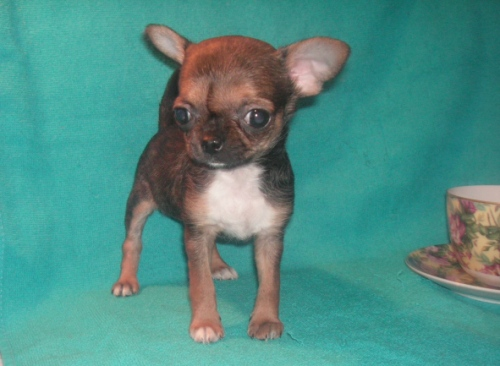 Chihuahua puppies puppet
