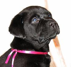 Sale podroschennye black Labrador retriever puppies