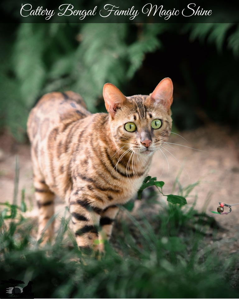 Amazing Bengal cat Amelie
