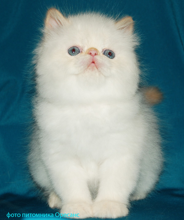 Persian cat red point