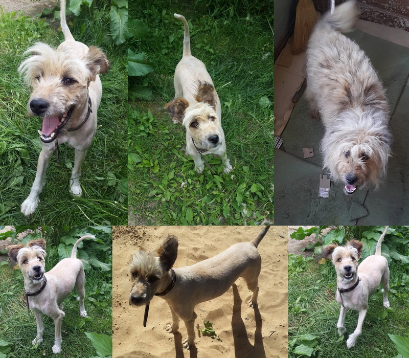 Metis wheaten Terrier, 1 year old, looking for a good family
