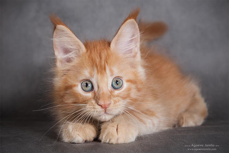 Maine Coon kittens XXL