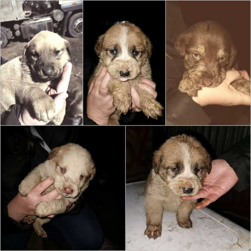 Puppies Alabai (mestizo) for free in good hands