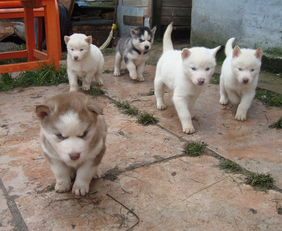 Blue-eyed Siberian husky puppies