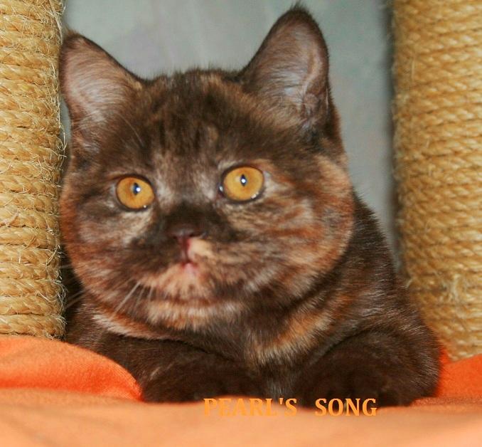 Chocolate orange marble turtle - Scottish girl
