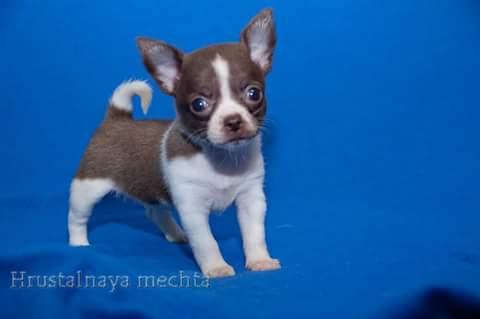 Chocolate and white Chihuahua