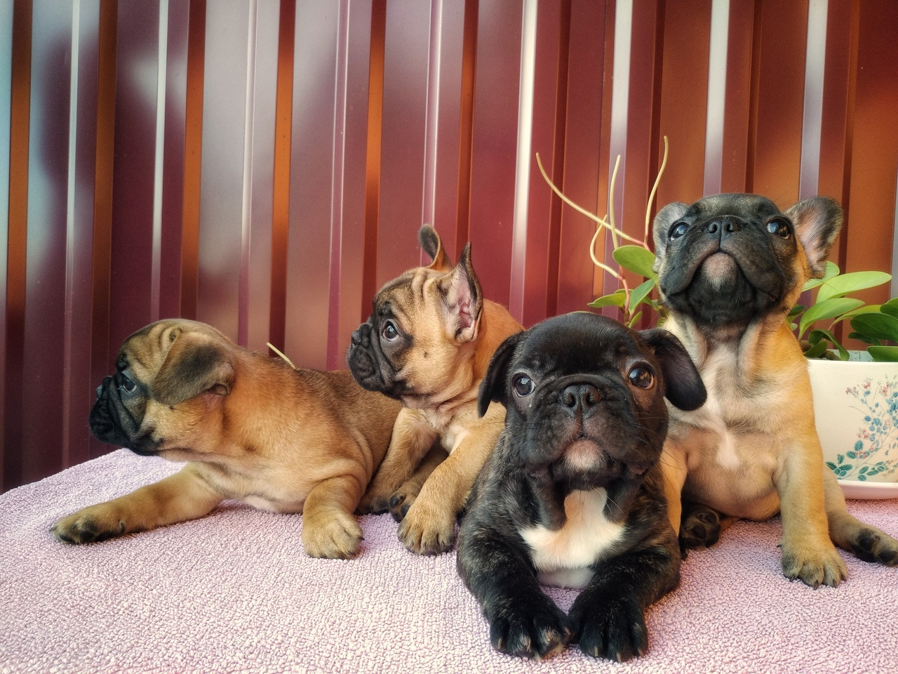 The French bulldog puppies