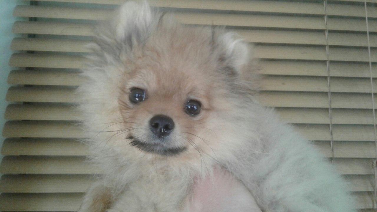 Spitz, miniature blonde. RKF