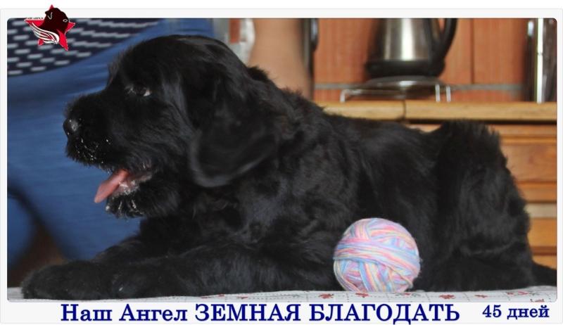 Puppies black Russian Terrier