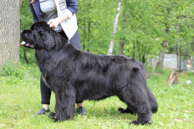 Newfoundland Puppies