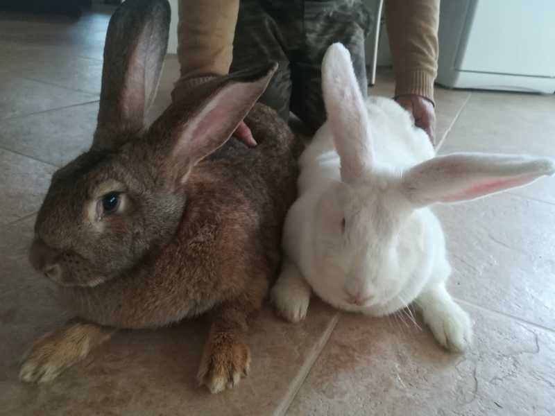 Rabbits Belgian Flander-Giant on the tribe