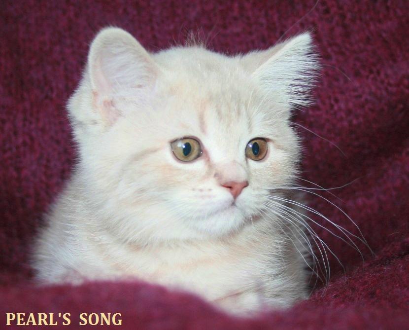 Scottish elite cat - purple pink marble gentle karolchik