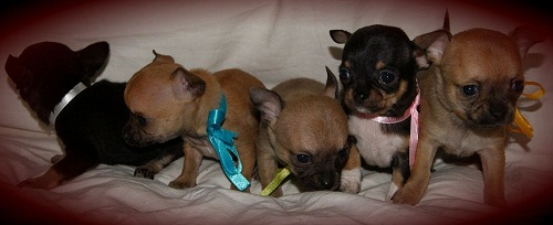 Chihuahua Puppies Mini and Super Mini