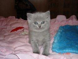 British and fold kittens