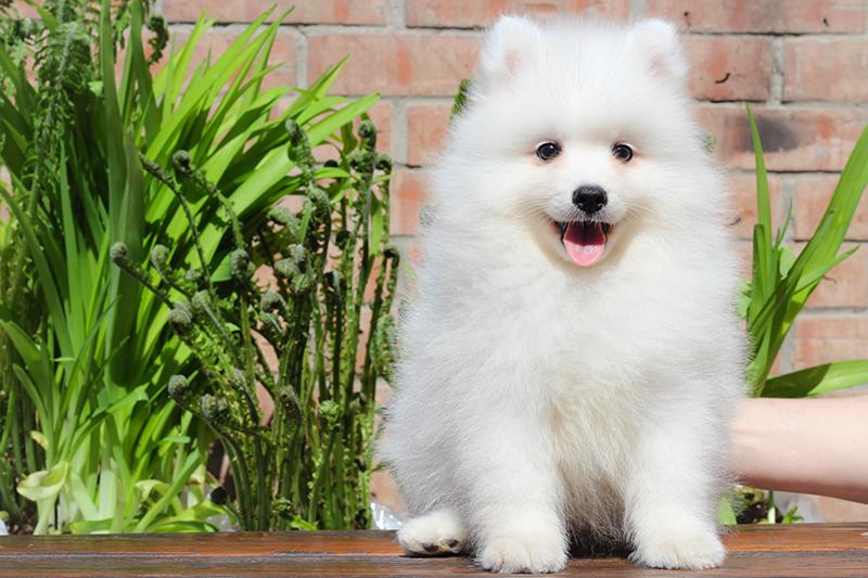 Japanese Spitz - puppies best kennel Nocturne dogs!