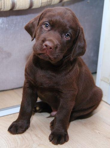 Puppies for sale Labrador пїЅ chocolate!