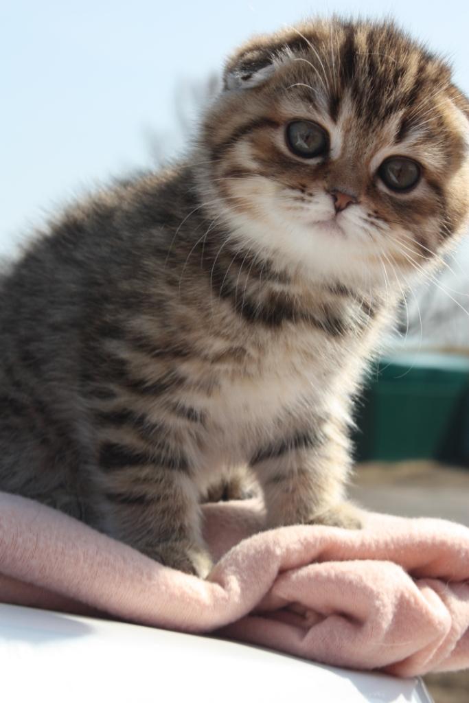 Scottish kittens with pedigree for breeding