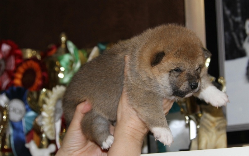 puppies breed Shib.inu