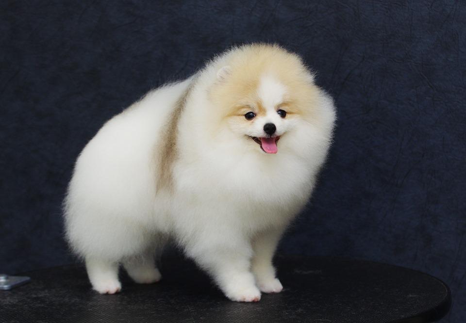 Show Pomeranian puppy!