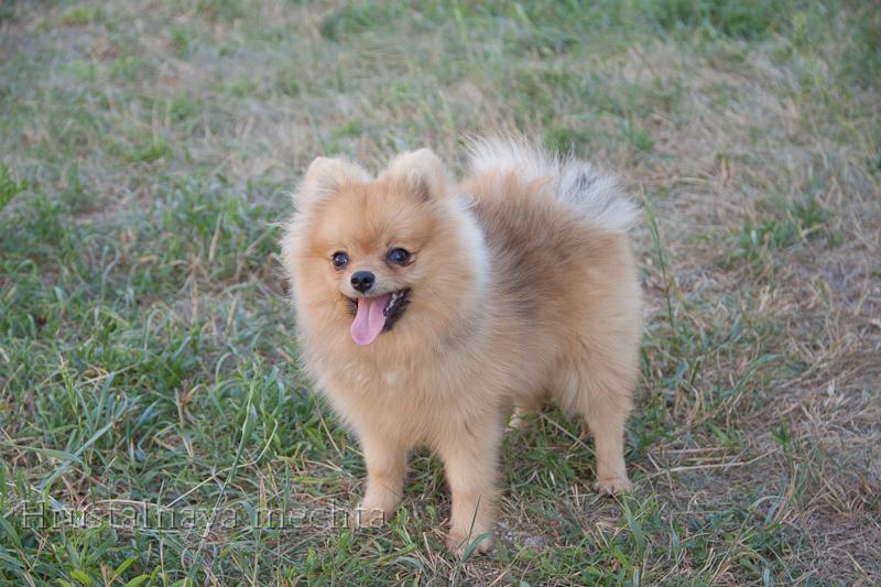 Pomeranian Girl for the soul