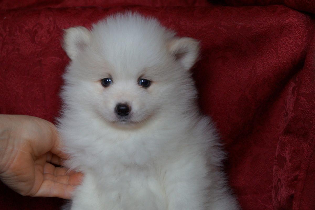 The puppy Pomeranian white cream boy