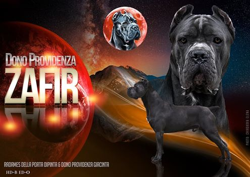 Puppies cane Corso in installments