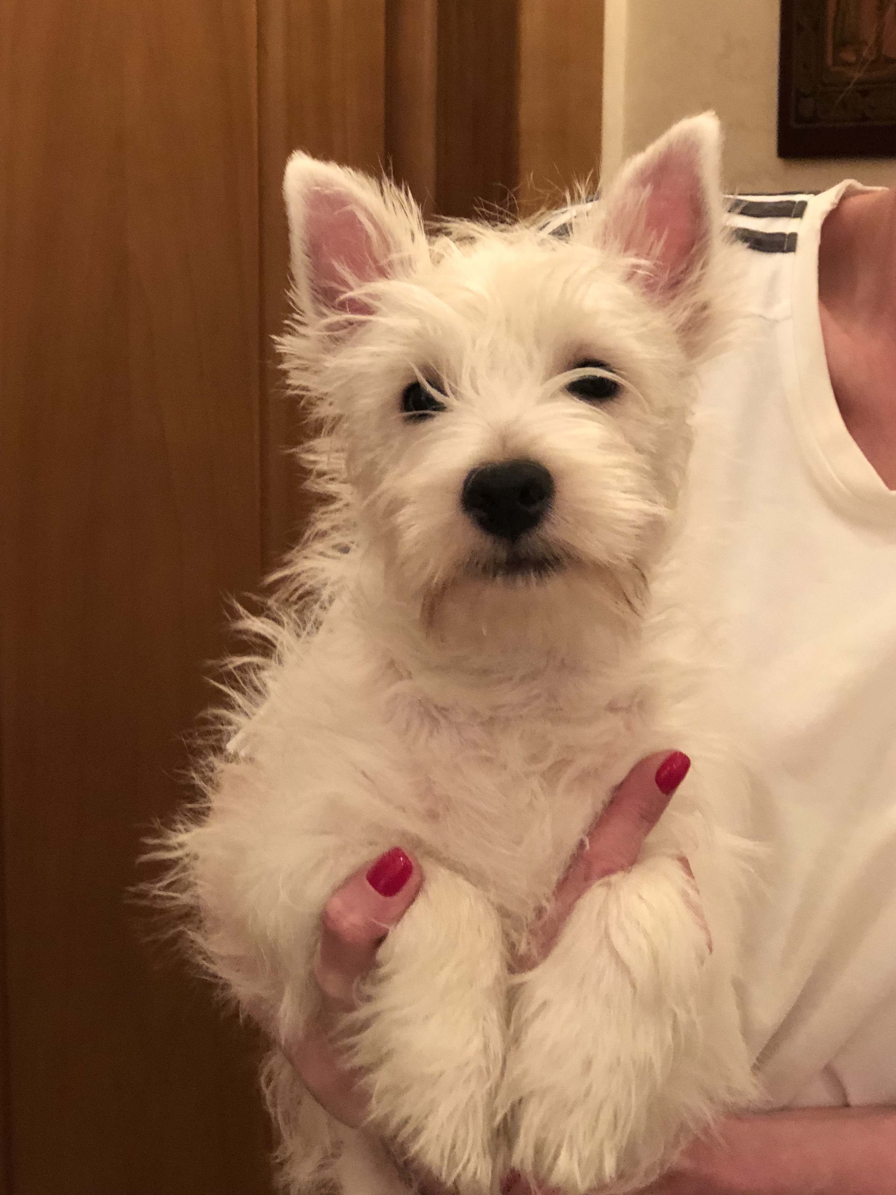 The West Highland White Terrier