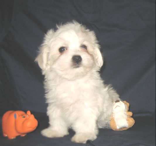 Maltese puppy, girl