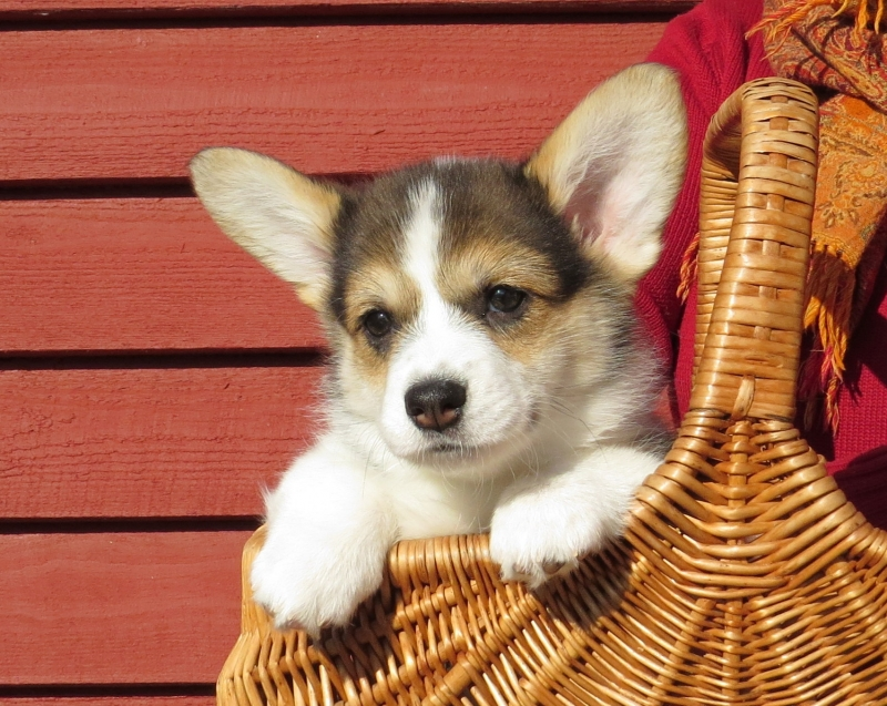 Puppies Welsh Corgi Pembroke