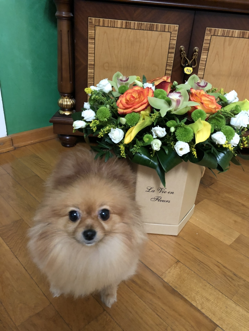 Sell an adult dog of the Spitz breed