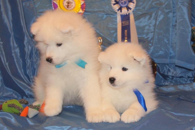 This white puppies Samoyed