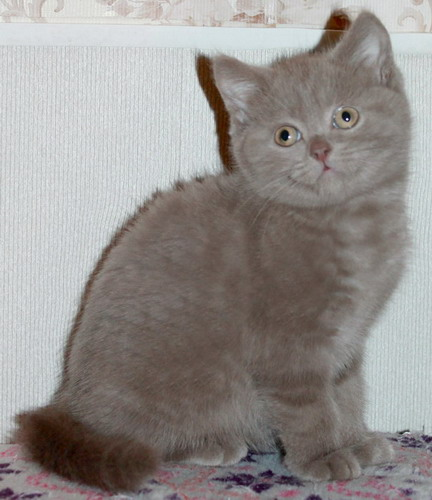 British lilovi kitty from the club parents