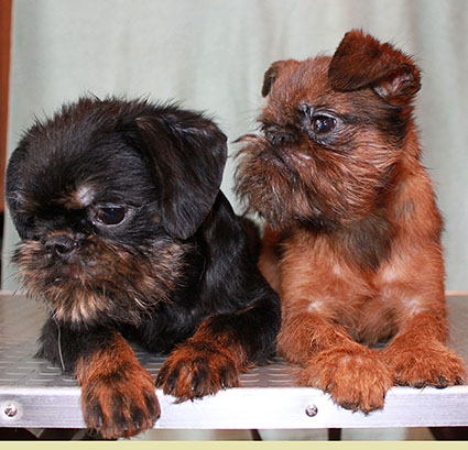 Puppies Griffon and Petit Brabancon. Binding