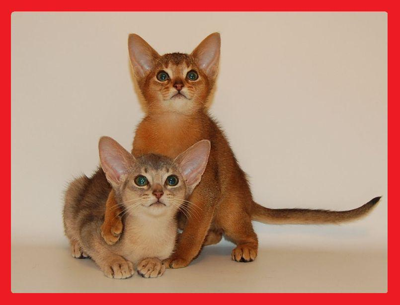 Abyssinian kittens from cattery Bluecourage.