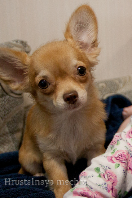 Chihuahua, miniature. For the soul