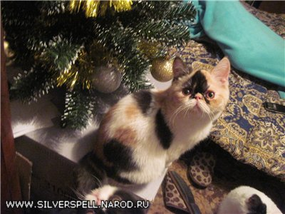 Exotic kittens: bicolor, harlequin, calico, silver