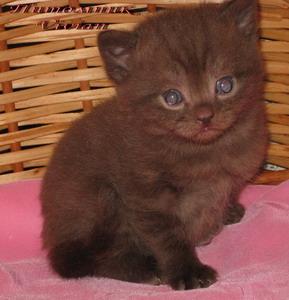 British chocolate kittens from cattery Vivian