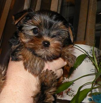 Yorkshire terrier puppies baby-Face, matings