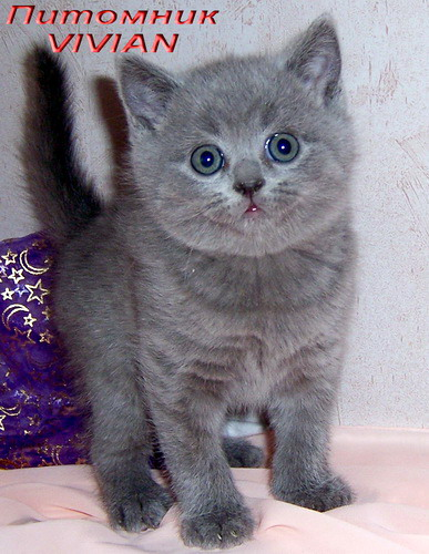 British blue kitten from a cattery.
