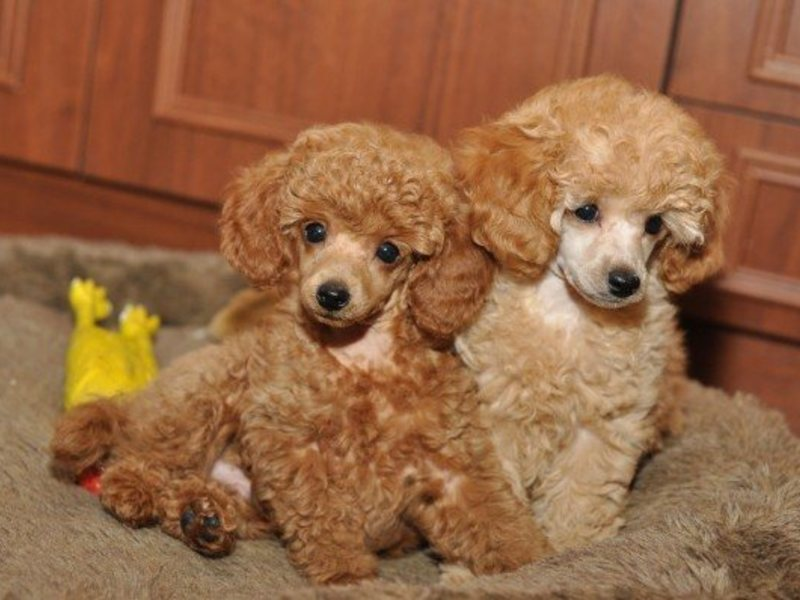 karlikowo sell puppies of apricot poodle