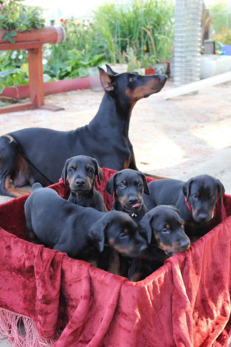 SELL DOBERMAN PUPPIES. PARENTS ARE CHAMPIONS