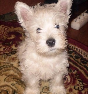 For sale puppy West Highland White Terrier