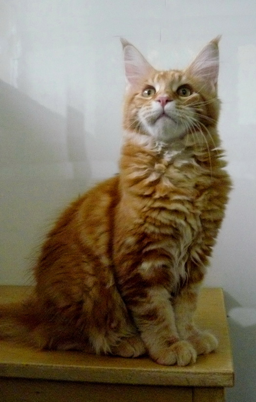Luxury cat for sale Maine Coon 3 months