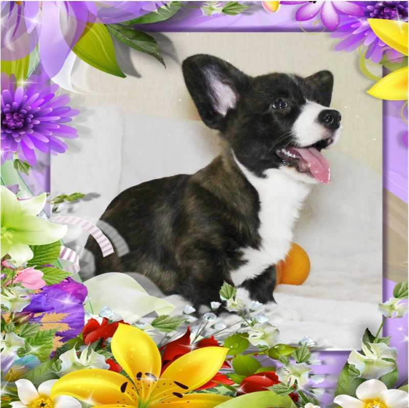 Puppy Welsh Corgi cardigan