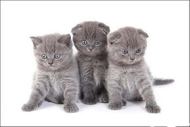 Selling kittens scottish fold